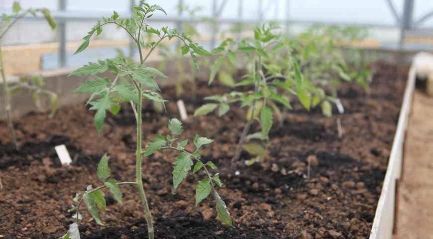 Посадка помидоров в открытый грунт. как правильно высаживать рассаду?