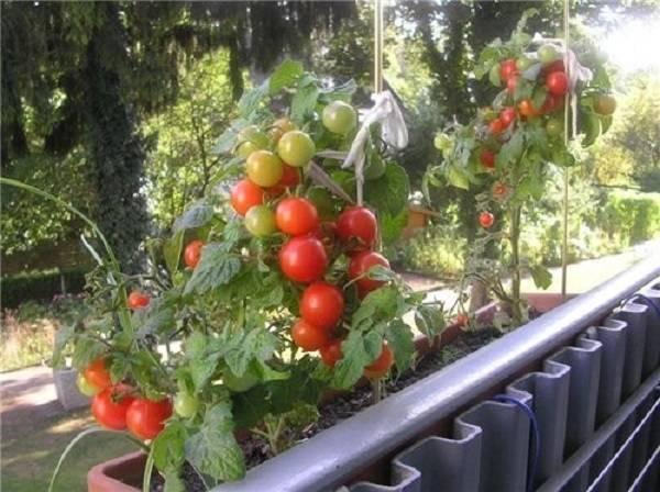 От посадки рассады до сбора урожая: секреты успеха в выращивании помидоров черри