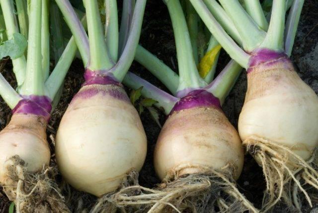 Выращивание брюквы и уход за ней: агротехника посева в открытом грунте и рассадой на подоконнике, болезни и вредители, частые ошибки огородников
