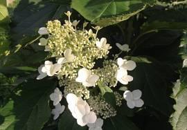 Выращивание гортензии сорта боденси в открытом грунте и в домашних условиях