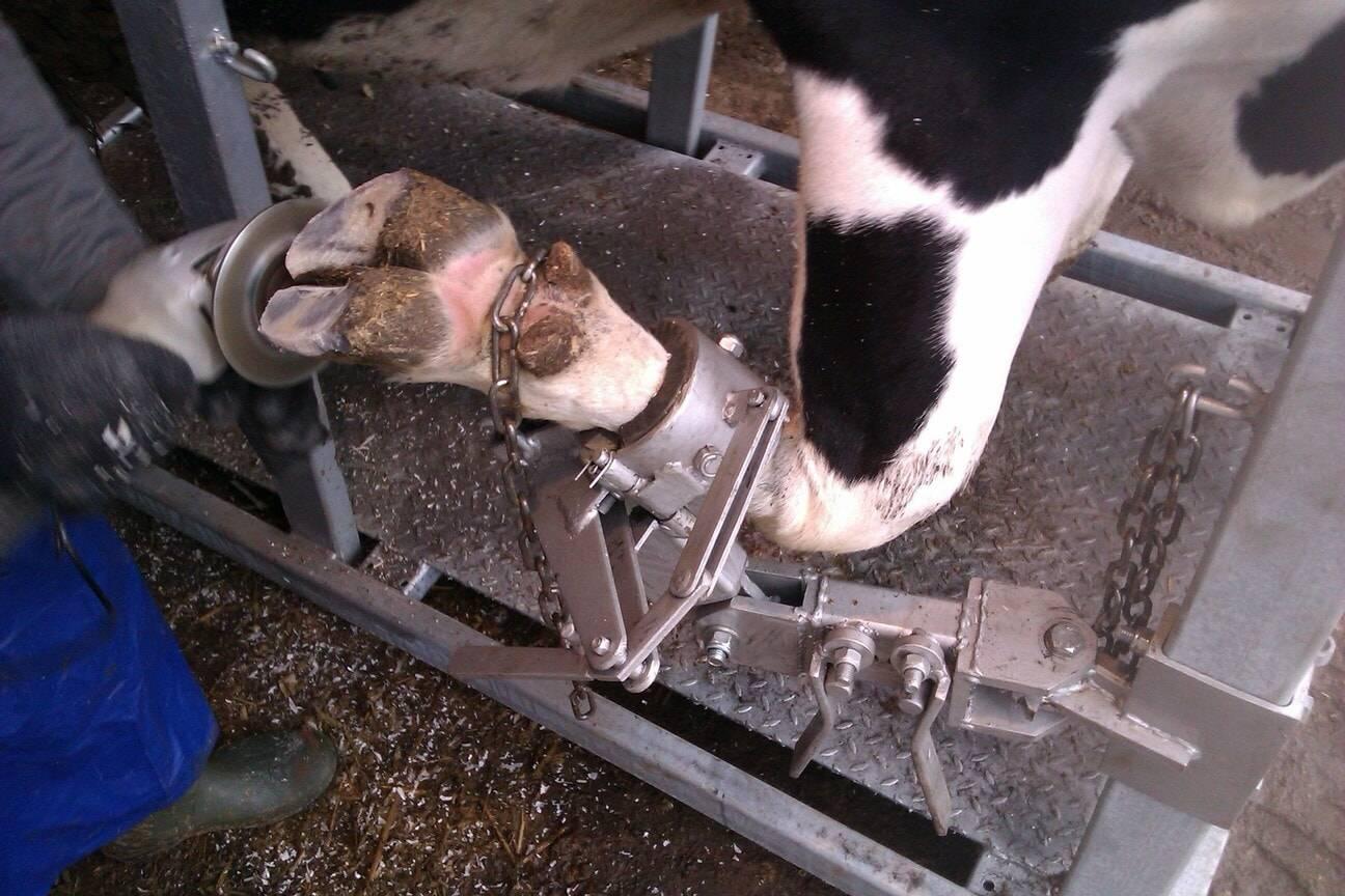 Болит сустав у коровы чем лечить