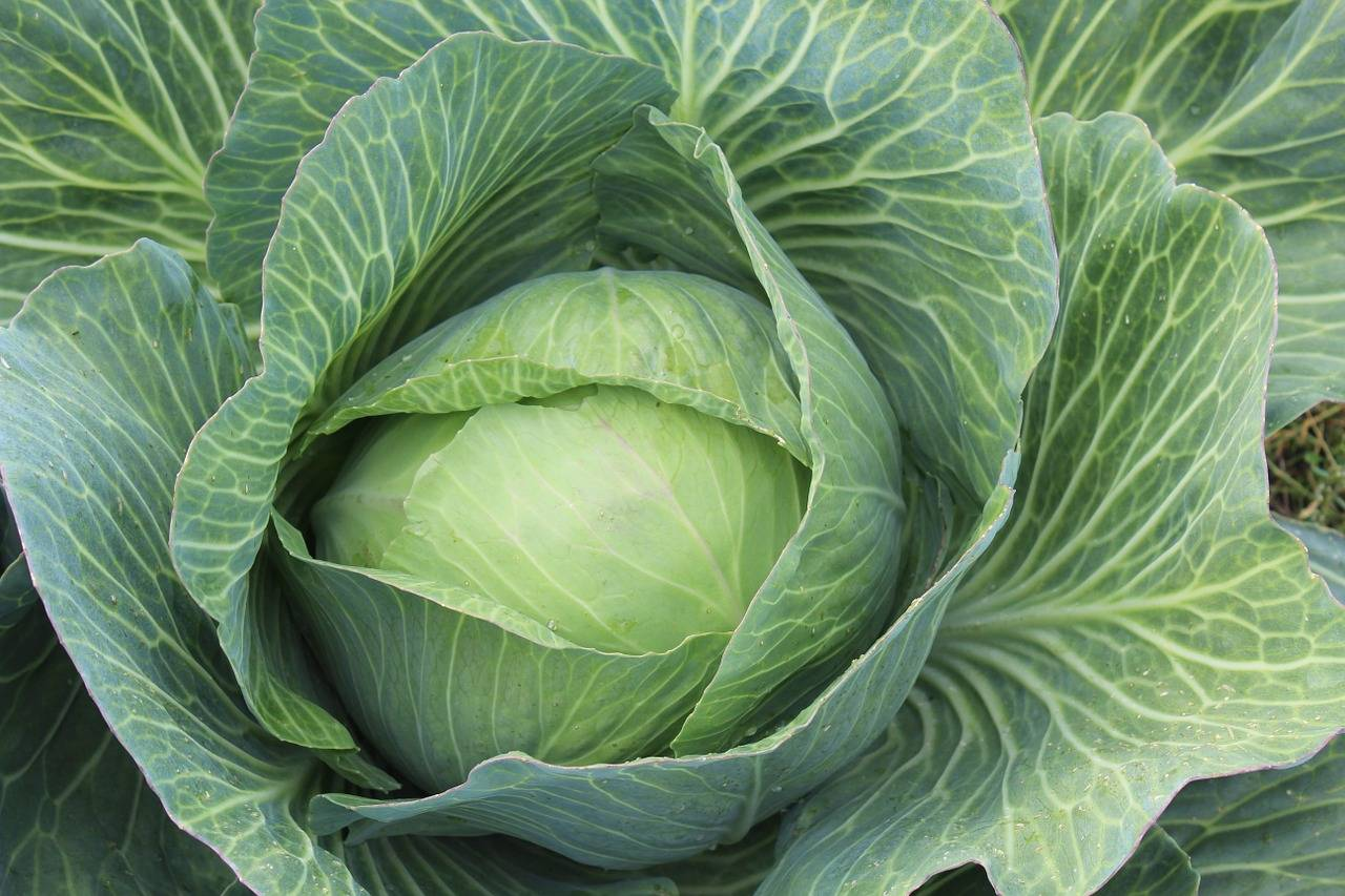 Все о капусте кале: от посадки до сбора урожая