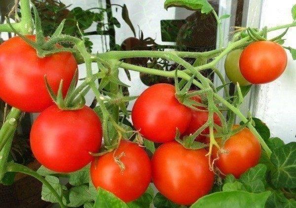 Огород в квартире: выращивание помидоров на окне зимой