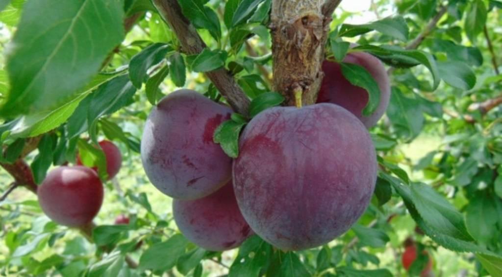 Описание сорта абрикоса россиянин