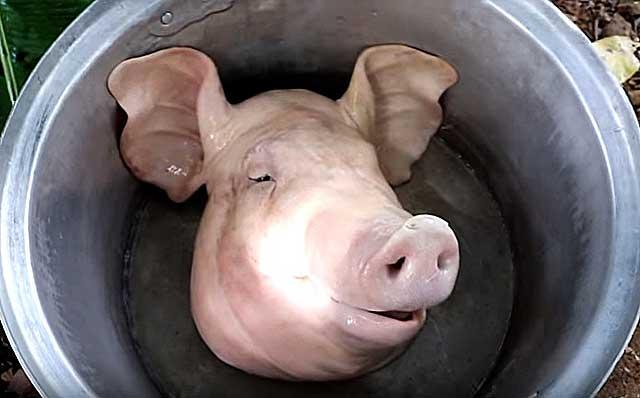 Как правильно разделать свиную голову в домашних условиях