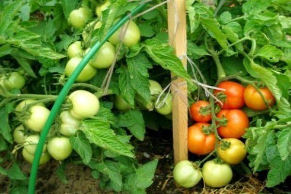 Чем отличаются детерминантные и индетерминантные сорта помидоров