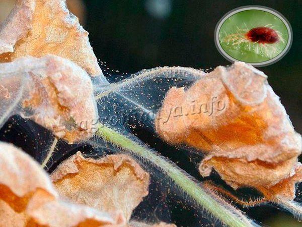 Средство от паутинного клеща на баклажанах