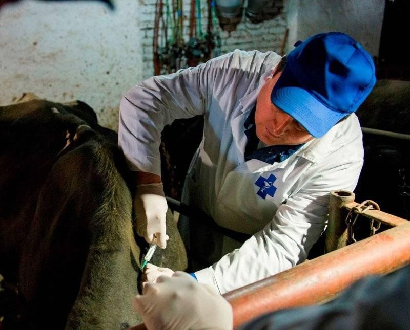Пироплазмоз крупного рогатого скота
