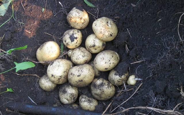 Популярный картофель «санте» : описание сорта, вкусовые качества, фото, характеристика