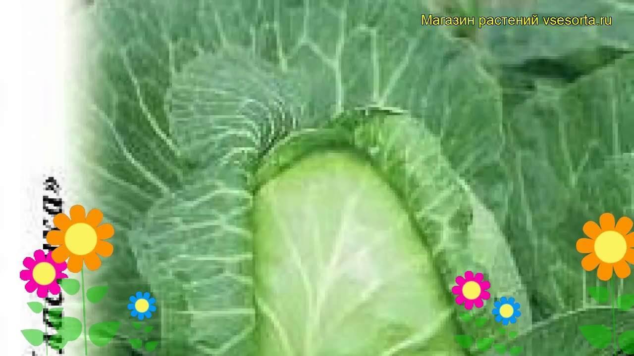Особенности выращивания капусты вьюга