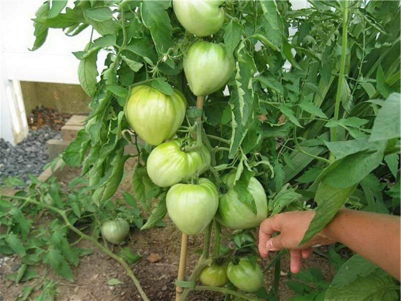 Характеристики, описание и выращивание томата мазарини