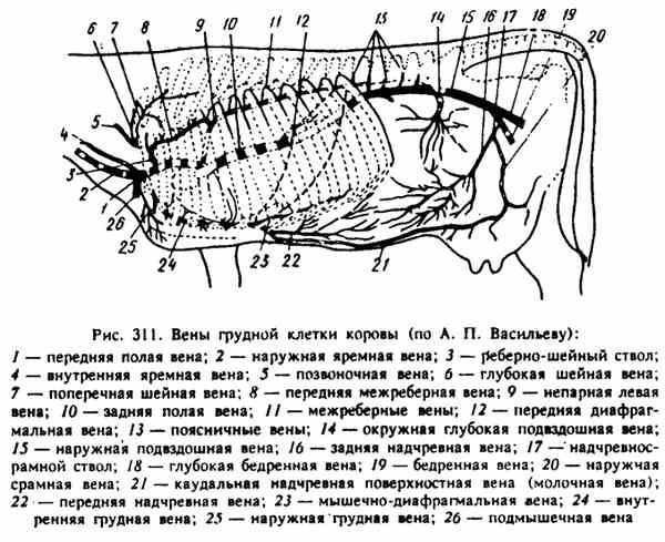 Взятие крови у крс из хвостовой вены