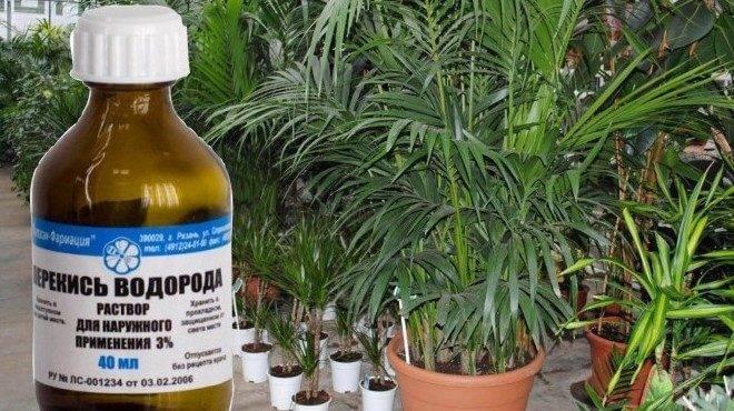 Супер средство для рассады помидоров перекись водорода