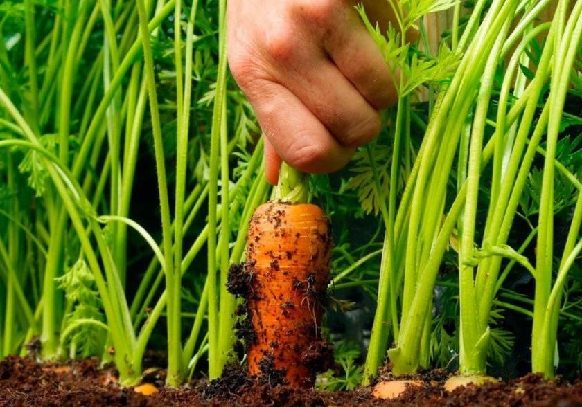 Морковь алтайская лакомка описание отзывы