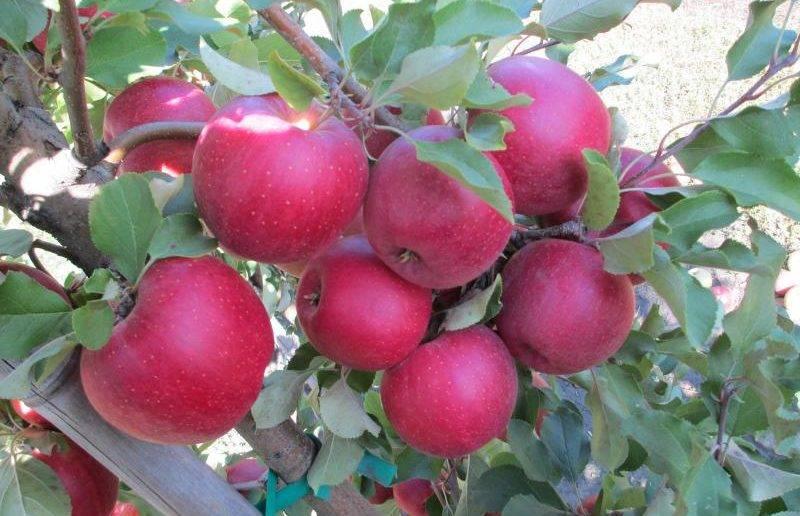 Яблоня Осенняя радость: описание, уход, фото и отзывы