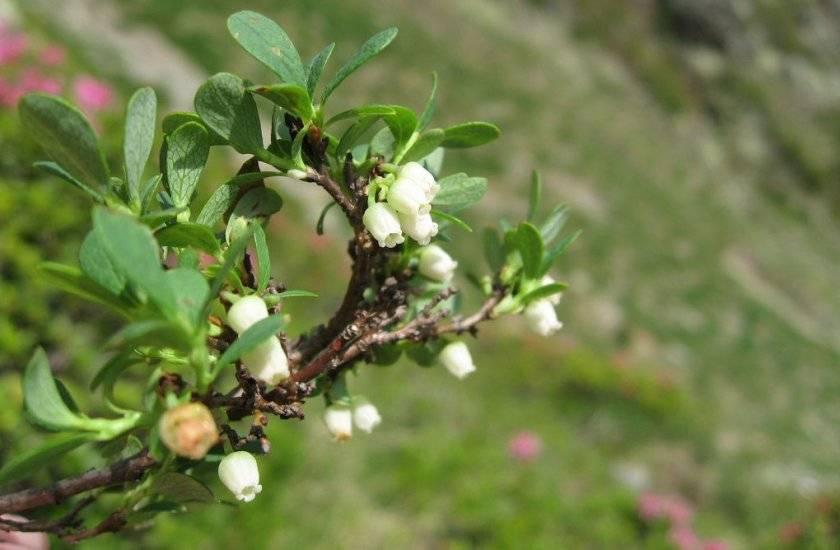 Почему не плодоносит черешня, что делать, если не цветет и плохо растет