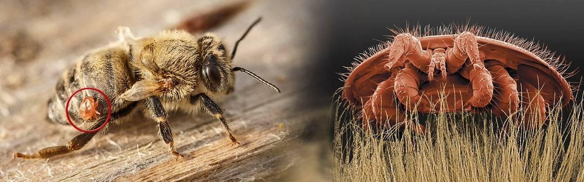 Самые распространенные болезни пчел и их лечение