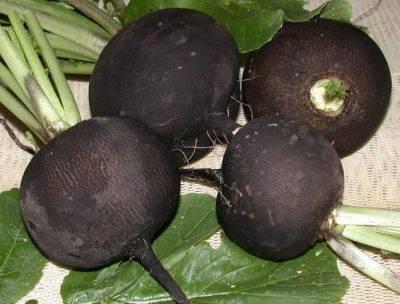 Закладка дайкона на зиму. как правильно хранить корнеплод?