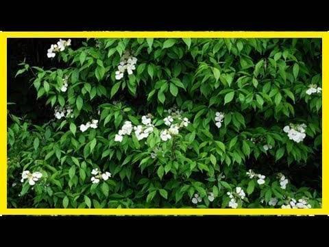 Гортензия черешковая вьющаяся hydrangea anomala petiolaris