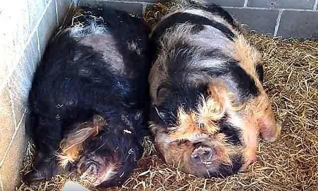 Роды свиньи и нюансы первого опороса