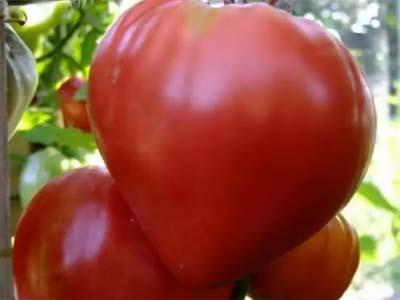 Характеристика и описание сорта томата мишка косолапый, особенности его выращивания