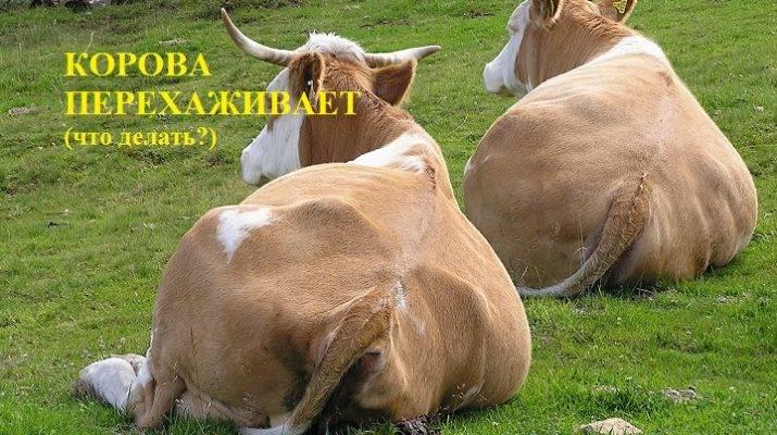 Признаки отела коровы (35 фото): первые предвестники начала родов. как ведет себя корова? как узнать, как скоро она будет телиться?