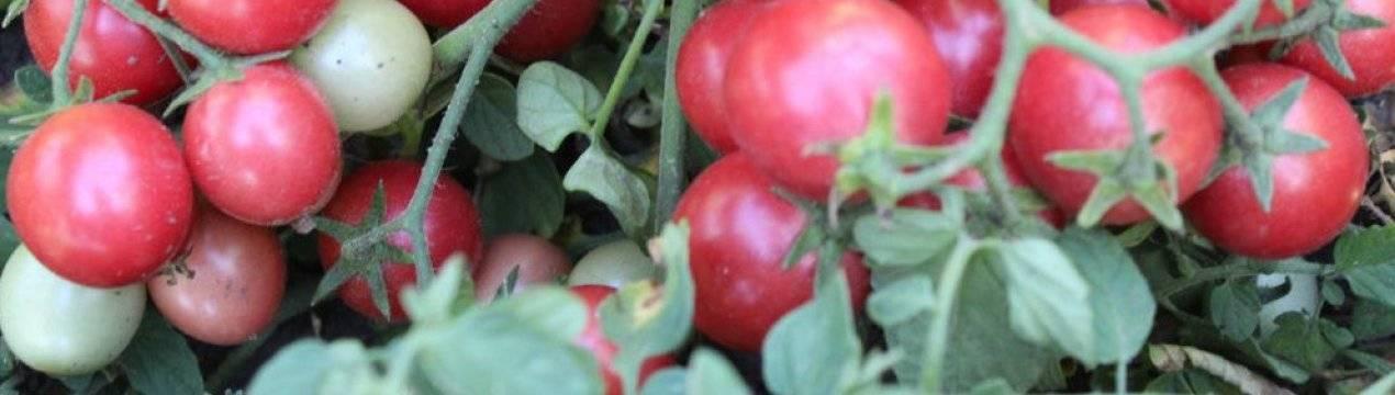Популярный сорт российской селекции — томат «фатима»: описание, характеристики, фото