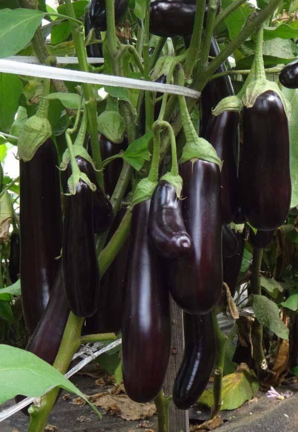 Баклажаны валентина f1: сортовое описание и особенности выращивания