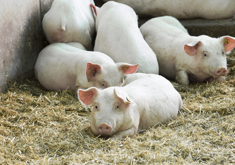 У свиньи отказали задние ноги: что делать и чем лечить?