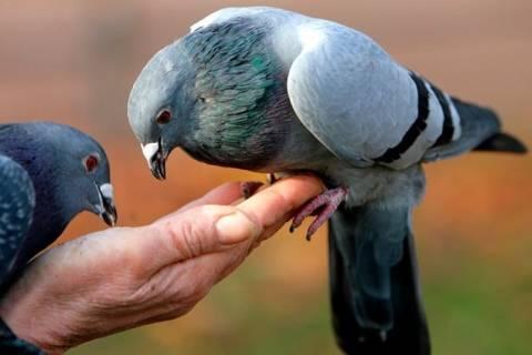 Голуби серпастые — описание, фото, где обитают, чем питаются