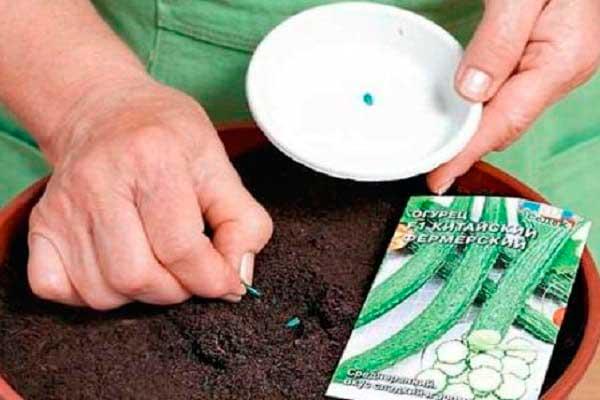Выращивание рассады огурца и способы посадки