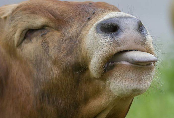 Лечение диспепсии у теленка (что делать, если вялый, не встает на ноги)