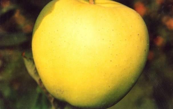 Описание яблони голден делишес, отзывы и правила ухода за сортом