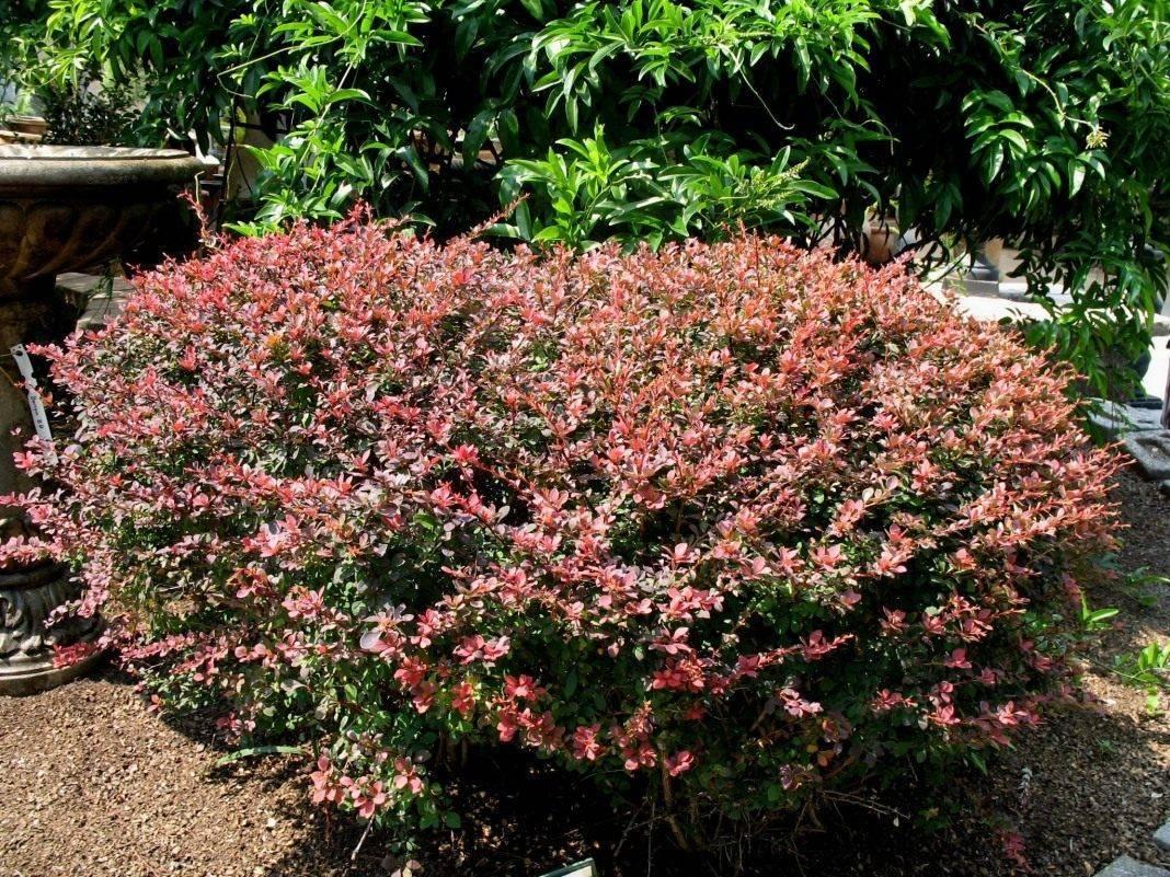Барбарис роуз глоу — описание сорта и уход
