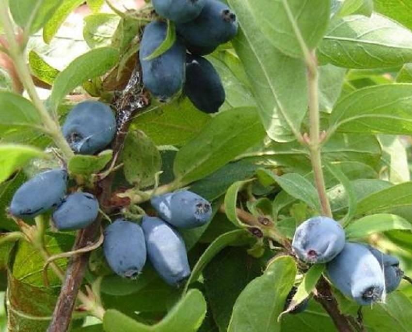 Жимолость «синяя птица»: выращивание, уход