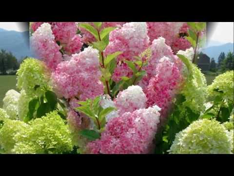 Уход за гортензией весной — как правильно пересадить гортензию