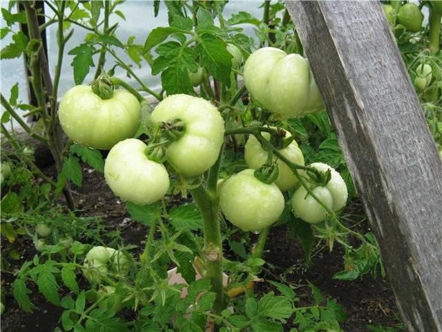 Томат северный экспресс f1: характеристика и описание сорта, выращивание и уход с фото
