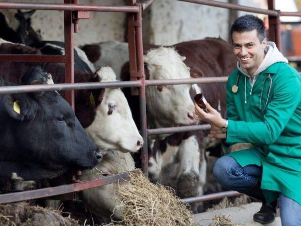 Как кормить корову после отёла в домашних условиях