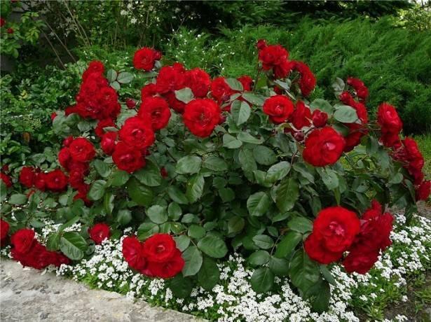 Что делать если роза переродилась в шиповник