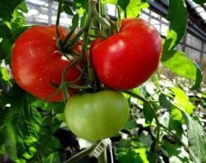 Сладкое чудо уолфорда: как выращивать американский томат. подробное описание и рекомендации садоводов