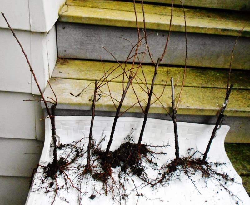 Всё о выращивании тульской черной сливы