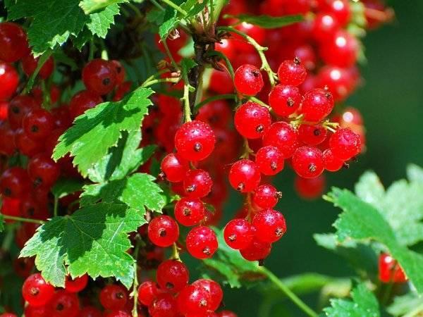 Красная смородина андрейченко (ненаглядная): описание сорта и фото