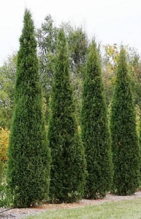 Живая изгородь: фото красивых «живых» заборов и особенности их выращивания