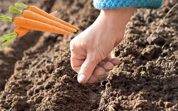 Как правильно сеять семена моркови