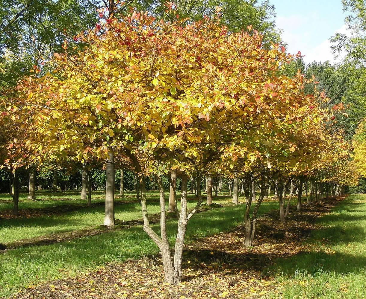 Декоративные деревья и кустарники: боярышник Арнольда