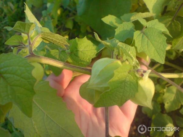 Украшение участка — «чудо-ягода» физалис