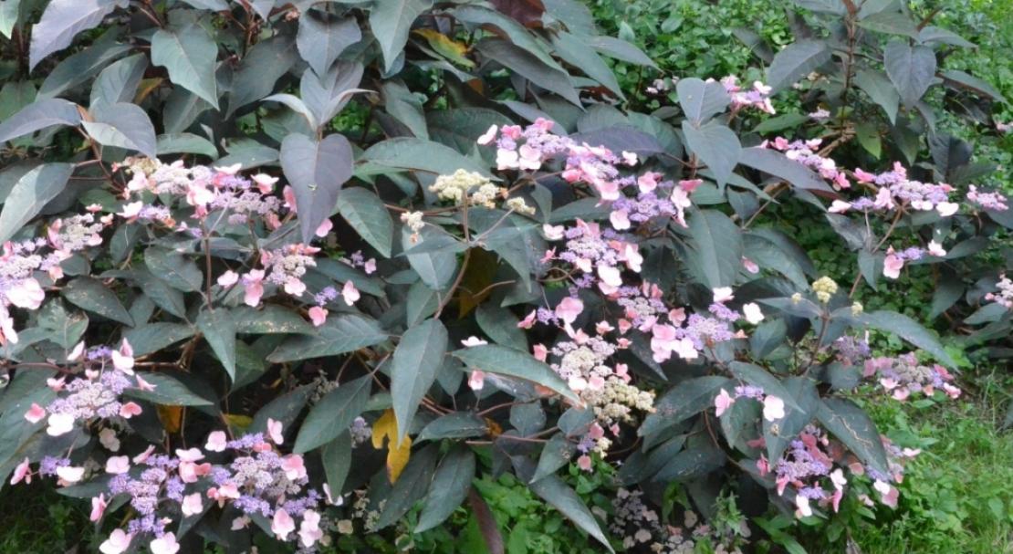 Гортензия «киушу»: описание, рекомендации по выращиванию и размножению