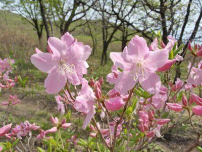 Рододендрон Шлиппенбаха: фото, выращивание из семян, полезные свойства
