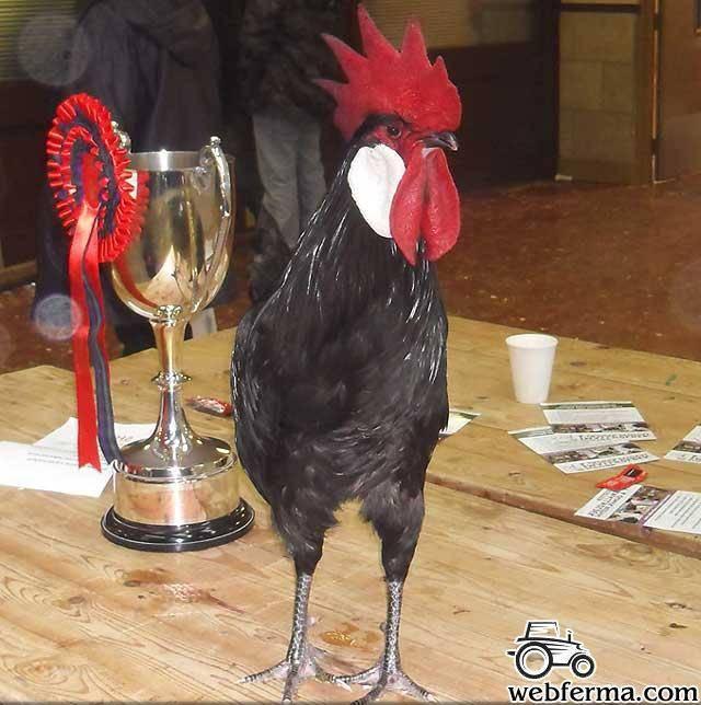 Минорка: порода кур, описание, фото
