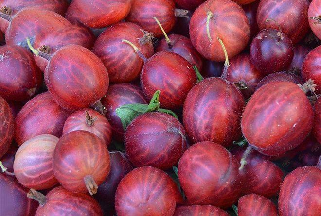 Крыжовник белорусский красный: характеристика, особенности выращивания и размножения